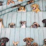 Robert Kaufman Baumwollstoff Hunde